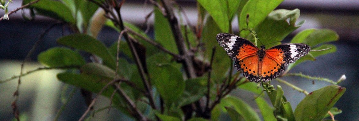 butterfly-singapore